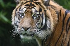 Der Tiger wartet